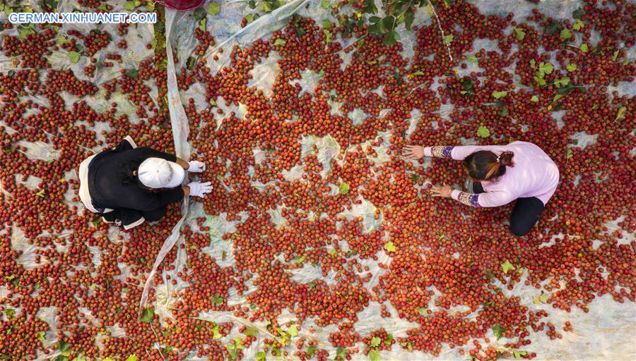 CHINA-HEBEI-HAWTHORN FRUITS-HARVEST (CN)