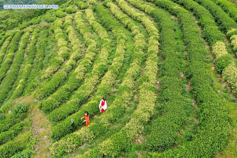CHINA-GUIZHOU-YUQING-TEA-ONLINE PROMOTION (CN)