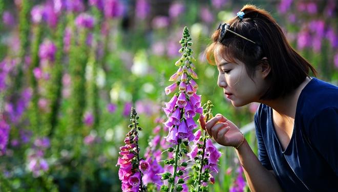 Menschen besuchen Industriepark für Lupinenblumen in Shaanxi