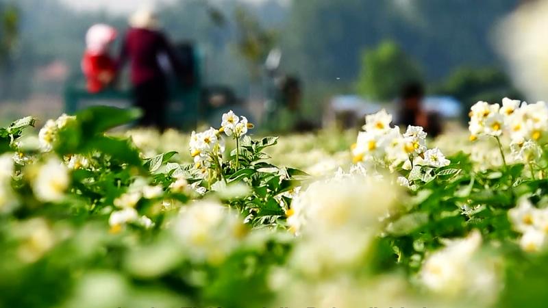 Album von China: Feste Überzeugung von Kartoffeln
