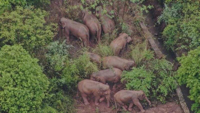 Wilde asiatische Elefantenherde zieht weiter in den Südwesten