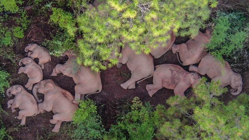 Durch China wandernde Elefantenherde ist wohlauf