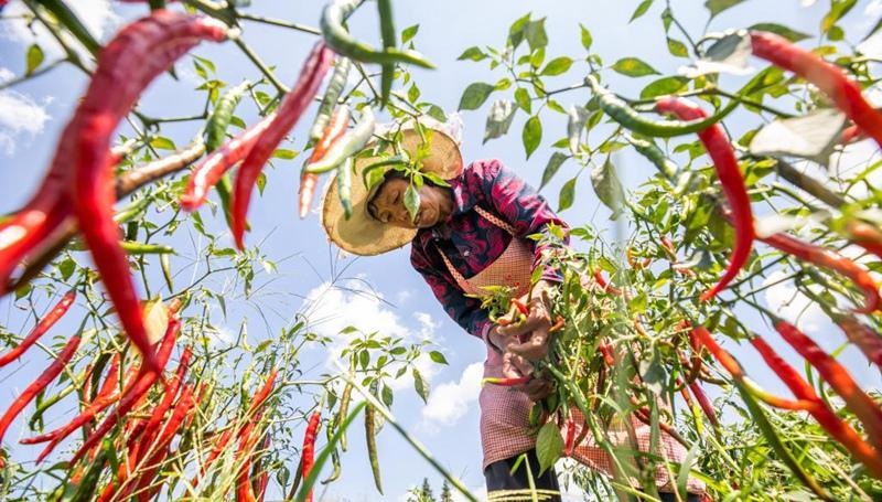 Chilischoten in südwestchinesischer Provinz Guizhou geerntet