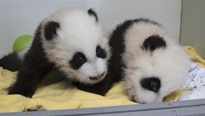 Atlanta-Zoo hält Benennungszeremonie für zwei Panda-Jungen ab