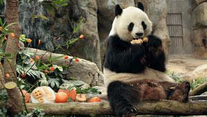 Festliches Essen für Panda Le Le zubereitet