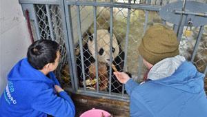 Riesenpandabär Bao Bao in Zuchtzentrum Dujiangyan
