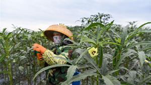 Pflanzung von Okra fördert Armutsbekämpfung in Wuzhishan