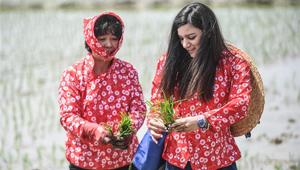 Pflanzen der Reissetzlinge in Panjin