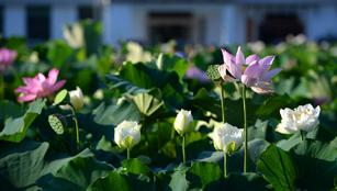Lotusblumen in Ganzhou