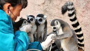 Tiere der Qingdao-Waldtierwelt erhalten Gesundheitsuntersuchungen