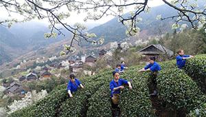 Erntezeit für Frühlingstee in China