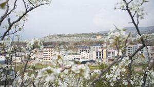 Birnenblumen erblühen im Frühling