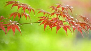 Landschaft der Ahornblätter in Enshi