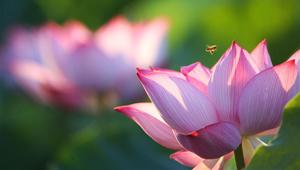 Lotusblumen blühen in Sommer