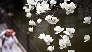 Magnolien stehen in voller Blüte