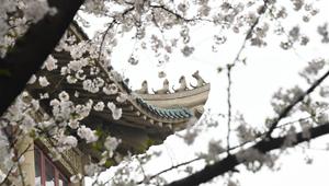 Schönheit der Kirschblüten an Wuhan-Universität genießen