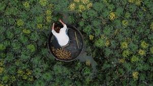 Wasserkastanien in der Stadt Huzhou geerntet