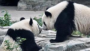 Riesenpandazwillinge debütieren im Beijinger Zoo
