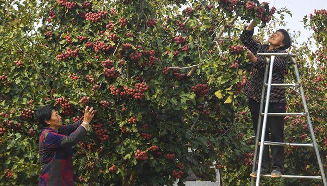 Weißdornfrüchte in Wuyi, Hebei geerntet