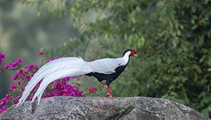 Silberfasane im Naturschutzgebiet Exiandong von Fujian