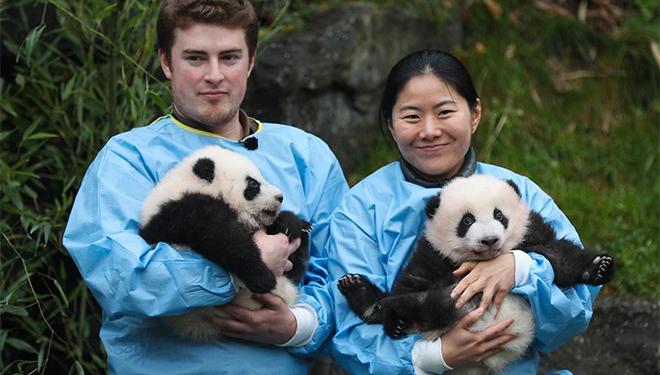 "In Bildern: Riesenpanda-Zwillinge ""Bao Di"" und ""Bao Mei"" in Belgien"