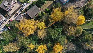 Landschaft der Ginkgobäume in Guiyang von Guizhou