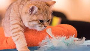Internationale Katzenausstellung in Budapest veranstaltet