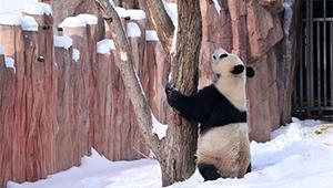 Riesenpanda spielt im Schnee in einem Wildpark in Changchun