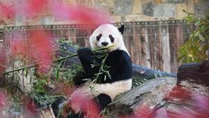 In den USA geborener Riesenpanda Bei Bei reist nach China