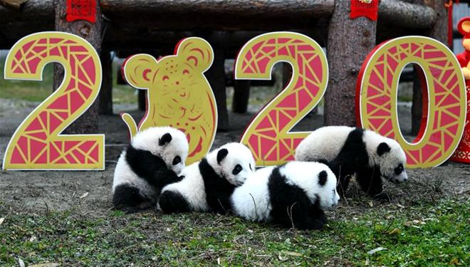 Wie feiern die Riesenpanda-Junge in Sichuan das chinesische Frühlingsfest?