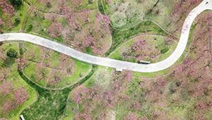 Ansicht der Pflaumenblüten in Shanghai