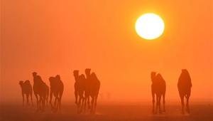 Kamele gehen in der Wüste während des Sonnenaufgangs in Kuwait