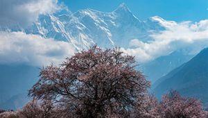 Pfirsichblüten entlang des Yarlung Zangbo River Grand Canyon in Südwestchinas Tibet