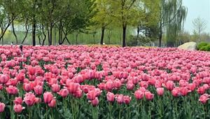Tulpen blühen in voller Pracht in Tianjin