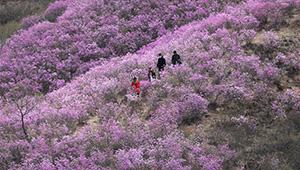 Ansicht der Azaleenblüten in Anshan