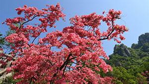 Landschaft der blühenden Rhododendren in Chinas Henan