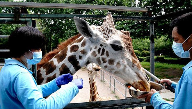 Tierklinik des Zoos Shanghai führt körperliche Untersuchungen für Tiere durch