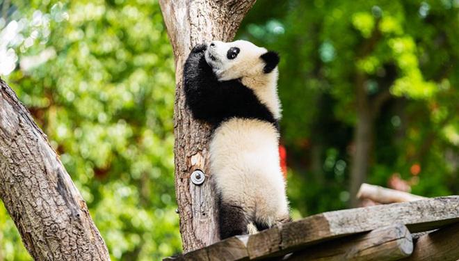 Riesenpandas spielen im wieder geöffneten Zoo Berlin