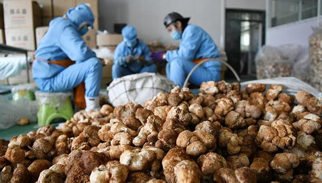 Löwenmähnenpilzindustrie in Stadt Hailin der Provinz Heilongjiang entwickelt