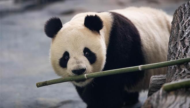 Acht Riesenpandas aus Sichuan lassen sich in Provinz Hunan nieder
