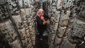 Dorfbewohnerin pflückt essbare Baumpilze im Gewächshaus in Liaoning