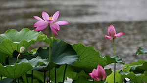 Ansicht der Lotusblumen in Fuzhou