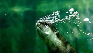 In Bildern: Zwergotter im Shanghai-Zoo