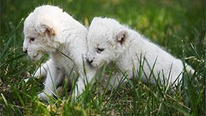 Weiße Löwenjungtiere tollen in einem Wildpark in Jinan