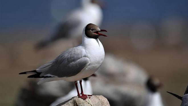 Braunköpfige Möwen auf Vogelinsel in Tibet