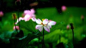 Lotusblumen im Botanischen Garten in Shanghai