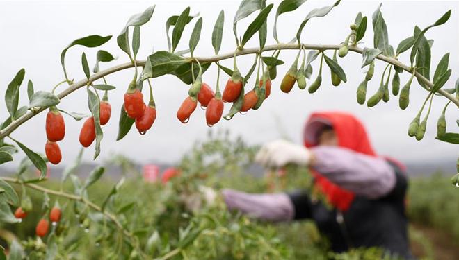 Unternehmen in Ningxia aktualisiert Verarbeitungstechnologie zum Trocknen von Goji-Beeren