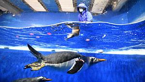 """Pinguine genießen """"Zongzi"""" aus Fisch im Polarland Harbin"""