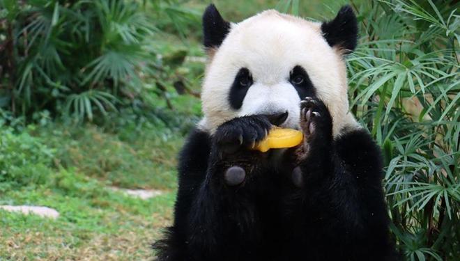 Riesenpandas feiern ihren Geburtstag in Macau