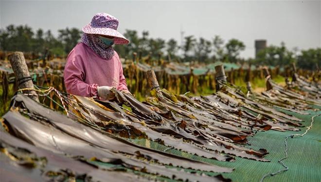 In Bildern: Seetang-Lüftungsfeld in Shandong